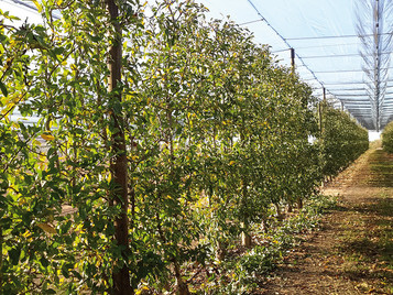 Orchards pruned with windows machine